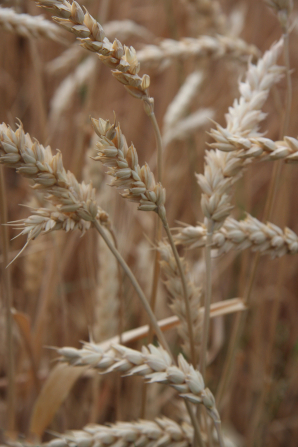 A detailed view of a handful of golden wheat stalks growing in a field.