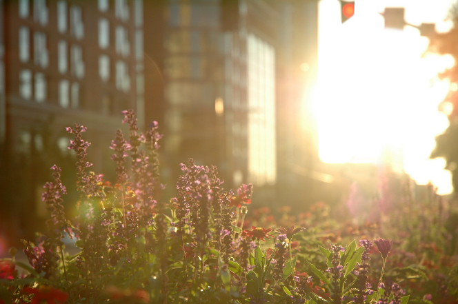 Tall purple flowers next to a tall building, which is seen vaguely in the background, and a sun flare covering everything in bright light.