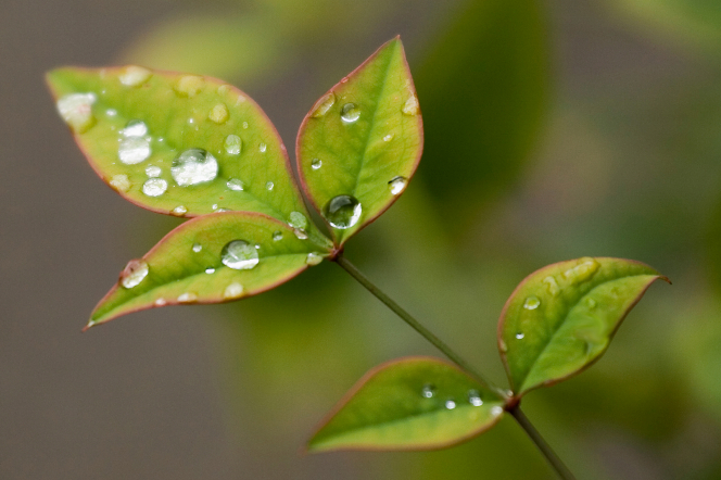 A bunch of small green leaves growing on a stem, covered in small droplets of clear water.