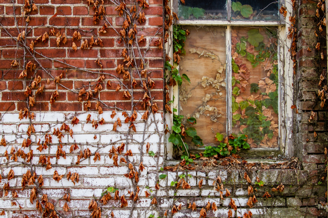 A wall constructed of red and white bricks, covered in partially dead ivy vines near a boarded-up window.