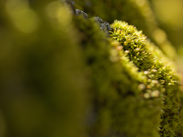 A detailed view of a patch of bright green moss growing on the brown bark of a tree or fallen log.
