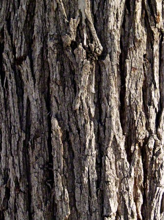 A detail of the gray and brown textured bark on a large tree in the daytime.