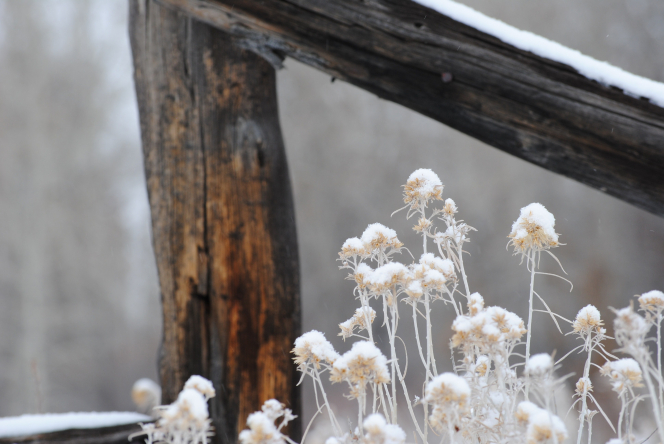 A group of tall, tan weeds alongside a wooden fence, covered in snow, with a gray background in the distance.