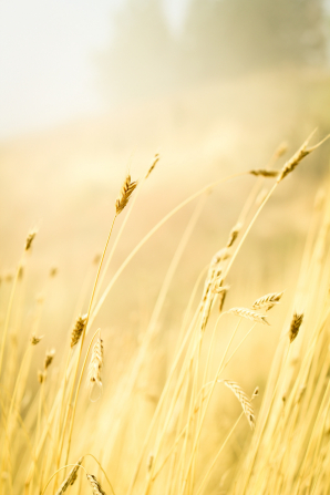 A few stalks of golden wheat growing together, with the sun's light coming down softly from the top left corner.