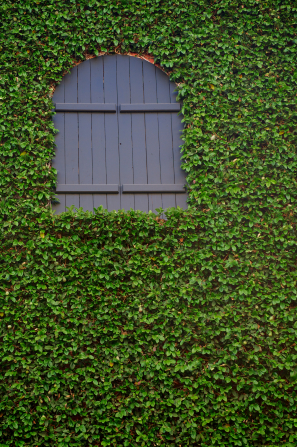 A small wooden window painted gray, set in a wall that is completely covered in dark green ivy vines.