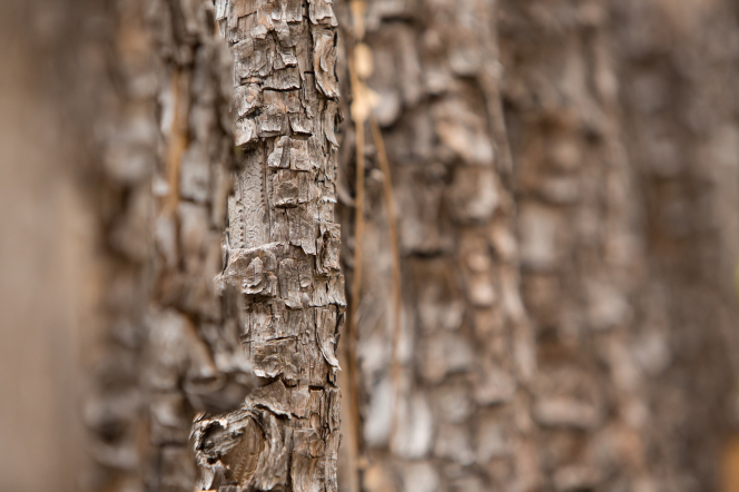A close-up photograph of rough, light brown tree bark.