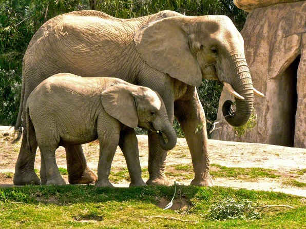 A photo of a baby elephant by its mother's side, both holding tree branches in their trunks and eating the leaves.