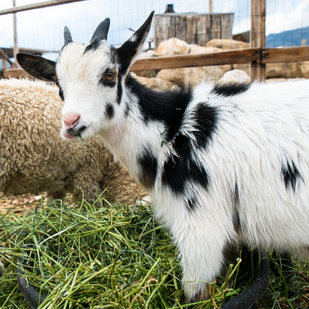 A photo of a black and white baby goat eating green hay on a farm.