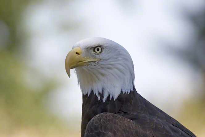 A close-up portrait of the head of a bald eagle.