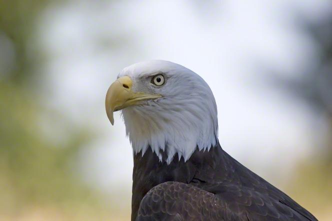 A close-up portrait of the head of a bald eagle.