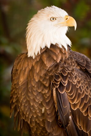 A photo of a bald eagle with its white and brown feathers slightly ruffled up.