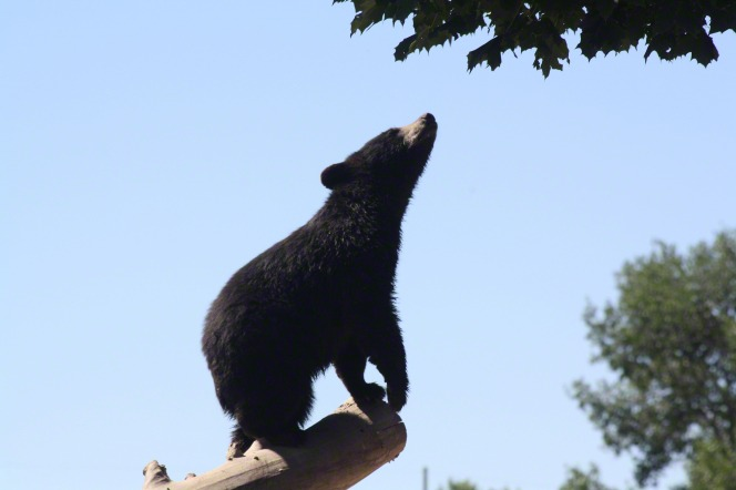 A photo of a young black bear cub standing on the edge of a tree trunk sniffing at some leaves above.