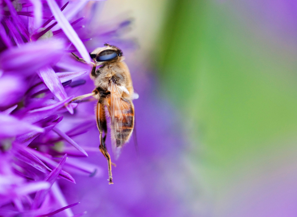 A close-up view of a golden bee on a purple flower.