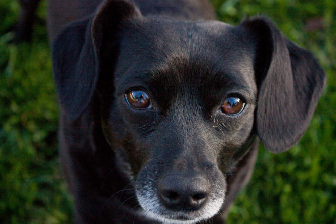 A close-up view of a dog's face with black fur and brown eyes.