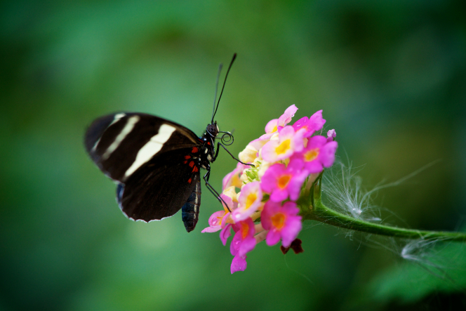 A butterfly with black-and-white-striped wings and a red-spotted body is sitting on a pink flower.