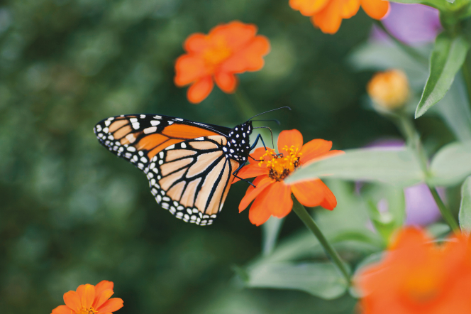 An orange, white, and black butterfly is sitting on a small orange flower.