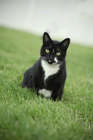 A photo of a small black cat with white patches and yellow eyes sitting on a grassy lawn.