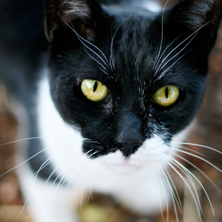 A close-up portrait of a black and white cat's face with yellow-green eyes and long white whiskers.