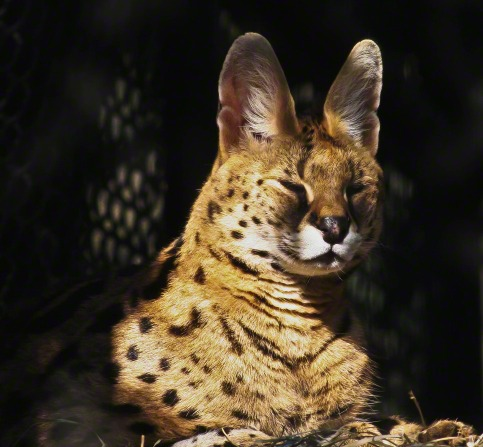 A close-up view of a serval, an African wildcat, lying down with its eyes closed.