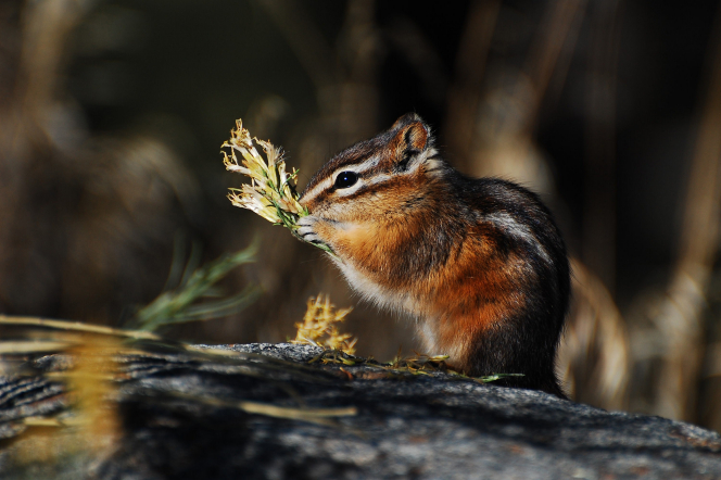 A striped chipmunk on a boulder, nibbling on a piece of plant it's holding in its paws.