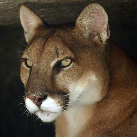 A close-up portrait of the head of a cougar, from the neck up.