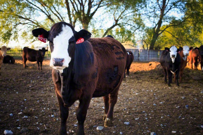 An image of a cow with red tags with numbers on its ear, standing in a corral with other cattle.