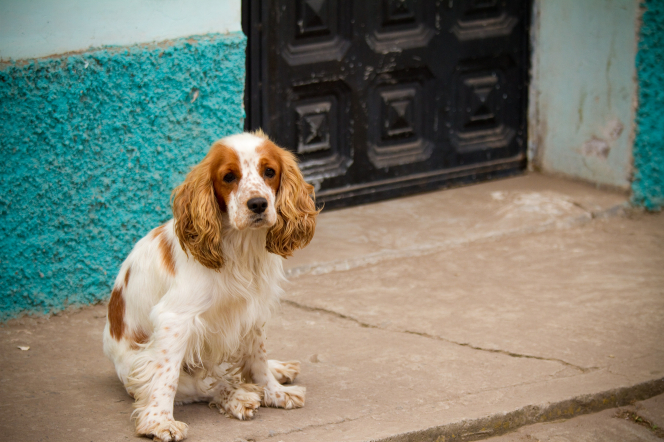 A long-haired dog with white and light brown coloring is sitting by a door on a street in Ecuador.