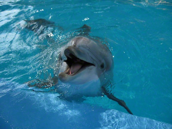 A photo of a dolphin popping its head out of the water while swimming.