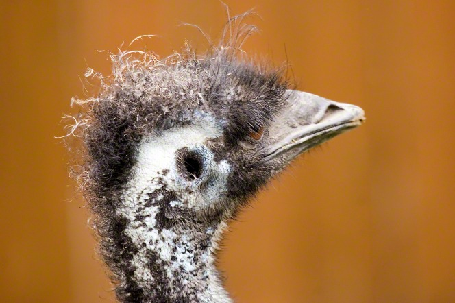 A close-up view of the head of a emu.