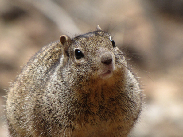 A close-up view of a plump squirrel's face.