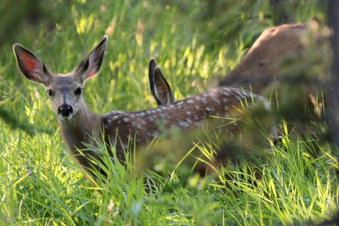 Two deer are seen grazing in an area with long green grass.