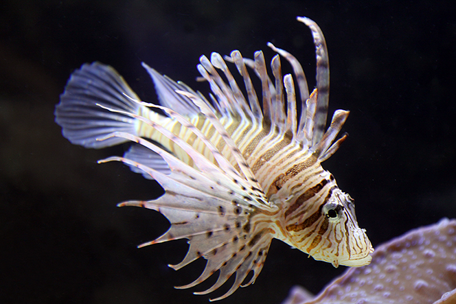 A photo of a lion fish in the ocean.
