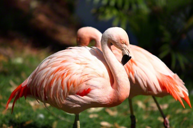 A close-up view of two pink flamingos standing side by side.