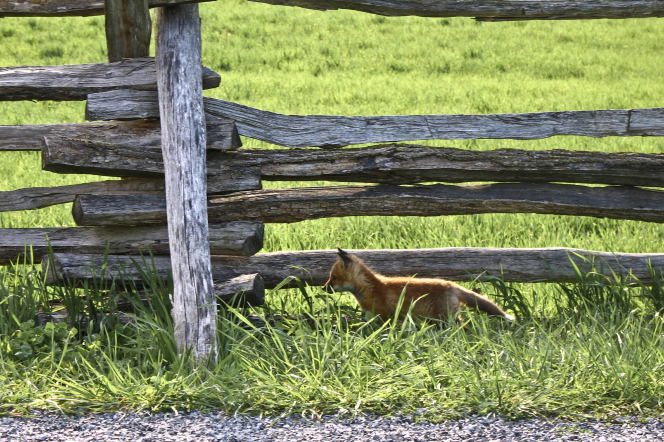 A young orange fox running through long green grass along a fence and road.