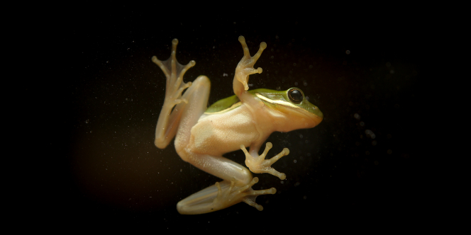 An underneath view of a small green frog, showings its yellow belly and feet.