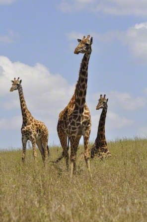 A photo of three giraffes, two standing and one lying down, in the grasslands of Kenya, Africa.