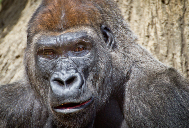 A portrait of a gorilla's face, from a zoo.