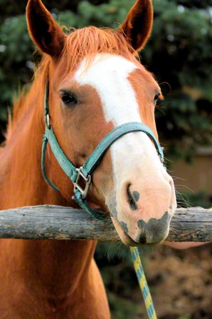 A portrait of a horse with a bridle on, resting its head on a fence post.