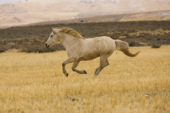 A white horse galloping through a yellow grassy field, with sagebrush plants in the distance.