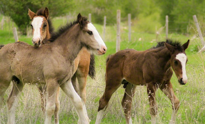 An image of three young foal horses playing in a grassy field with a fence beyond.