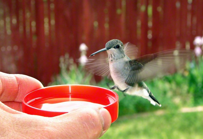 A photo of a hummingbird hovering and drinking from a red dish, held in a hand.