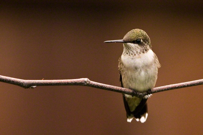 A photo of a hummingbird perched on a small branch with no leaves.