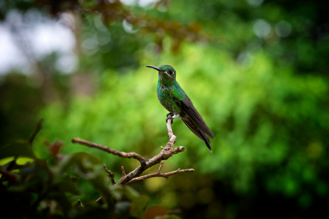 A bright green shimmery hummingbird is perched on the end of a tree branch.