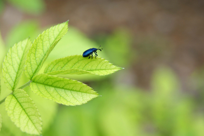 Five leaves of a plant can be seen with a small shimmery blue beetle perched on one.