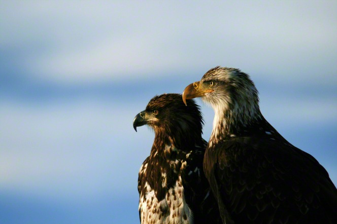 An image of two bald eagles perched, side by side.