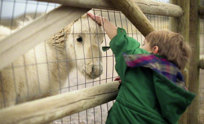 A photo of a young boy reaching through a fence to pet the head of a goat at a petting zoo.