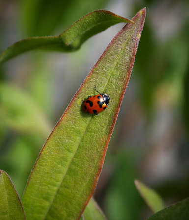 A red ladybug with black spots climbing on a long pointed leaf.
