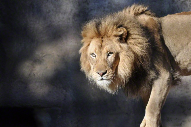 An image of a male lion.