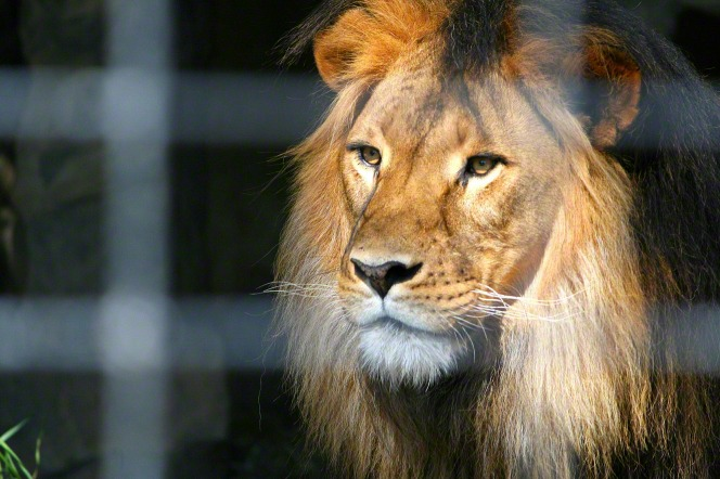 A close-up view of a male lion's head through a fence.