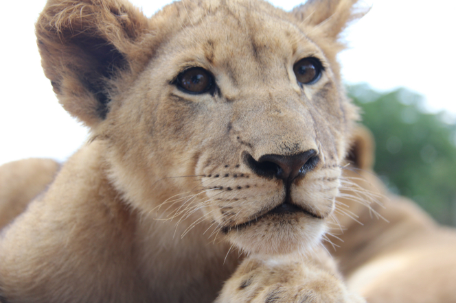 A close-up portrait of a female lion face.